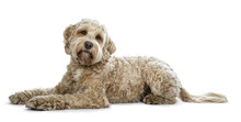 Pretty Golden Adult Labradoodle Dog Laying Down Side Ways Looking Straight In Lense With A Cute Head Tilt, Isolated On White Background