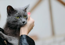British Gray Cat With Green Eyes In The Hands Of A Girl.