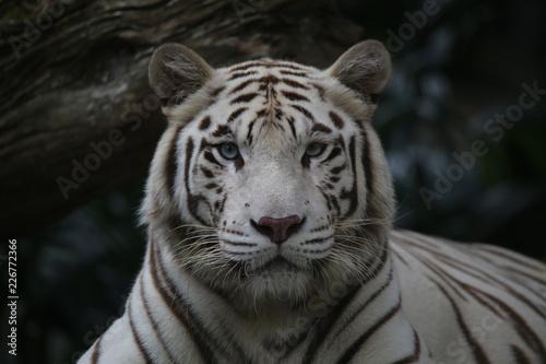 In de dag Tijger white tiger