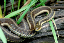 Eastern Garter Snake On Log