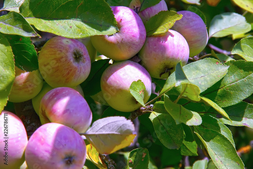 Tuinposter Zwavel geel Ripening apples on a tree close up, sunny day. Photo of mature apples on a tree, fruit apple background.