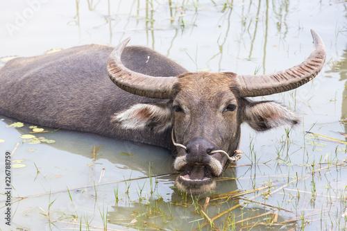 Keuken foto achterwand Buffel Buffalo in the water