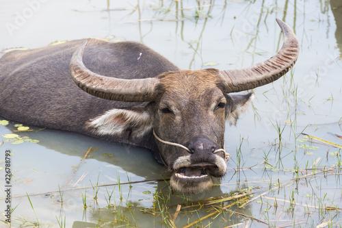 Staande foto Buffel Buffalo in the water