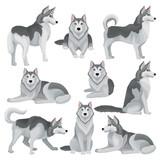 Fototapeta Fototapety na ścianę do pokoju dziecięcego - Flat vector set of Siberian husky in different poses. Adorable domestic dog with gray coat and blue shiny eyes. Home pet