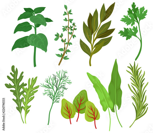 Fototapeta Flat vector set of different herbs. Aromatic plants used in culinary and medicine. Ingredients for flavoring dishes obraz na płótnie