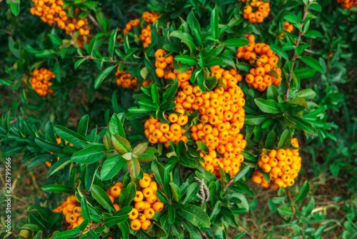 Decorative Bush With Orange Berries Pirakanta In The Park Buy