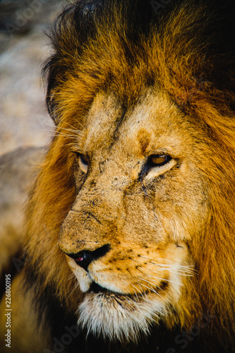 South Africa extremely closeup of a lion relaxing on savannah. Kapama private game reserve. South Africa.