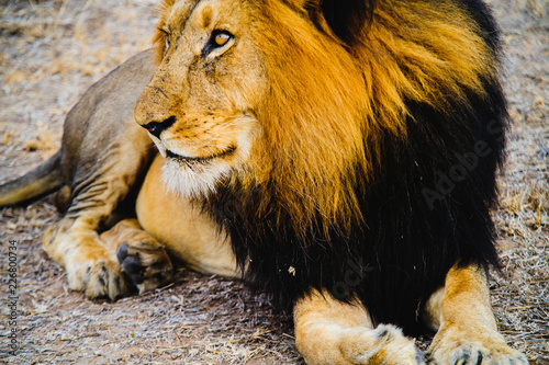 Staande foto Leeuw South Africa extremely closeup of a lion relaxing on savannah. Kapama private game reserve. South Africa.