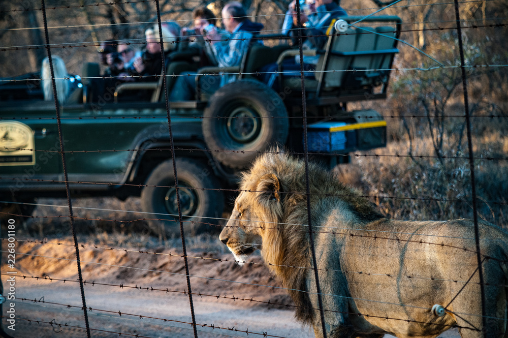 Male adult lion followed by a tourist 4x4 jeep stopping watching from a park fence. Kapama private game reserve near the Kruger national park. South Africa
