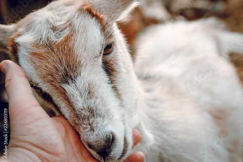 Fotografía  Young goat, and a man hand