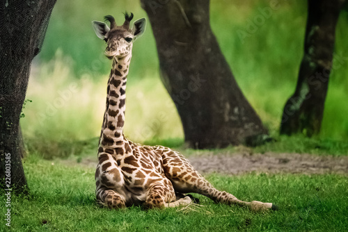 Tuinposter Giraffe Baby Giraffe in the shade