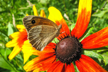 Gray Butterfly On A Red Flower