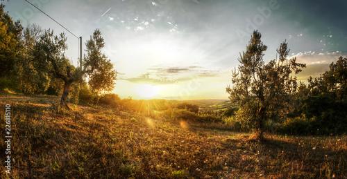 Olives at sundown, Montespertoli, administrative region of Florence