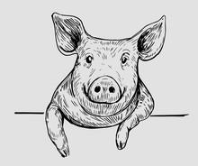 Sketch Of Pig. Hand Drawn Illu...