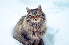 The Siberian Cat Sits In The D...