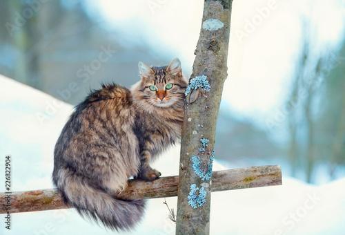 Obraz na plátně Siberian long hair cat sitting in the winter garden on the wooden fence