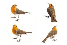 Collage Of European Robin (Eri...