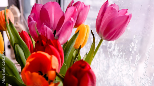 Fototapety, obrazy: Bouquet of tulip flowers standing at the window in winter day
