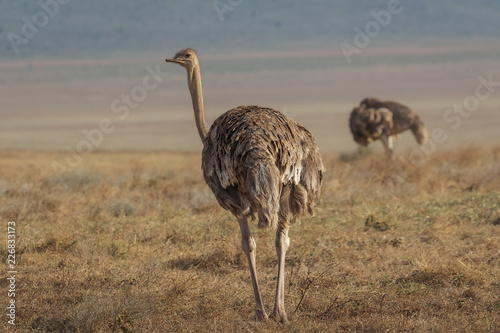 Staande foto Struisvogel Ostrich in ngorongoro