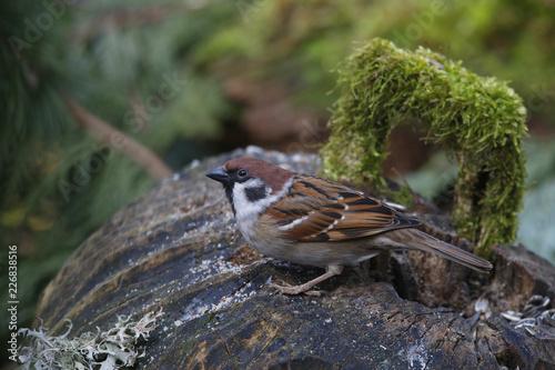Feldsperling oder Feldspatz (Passer montanus)