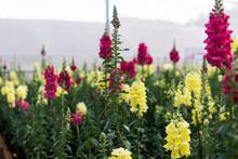 Snapdragon Flower Close-up