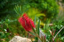Callistemon, Marimurtra Botanical Garden In  Blanes, Catalonia.