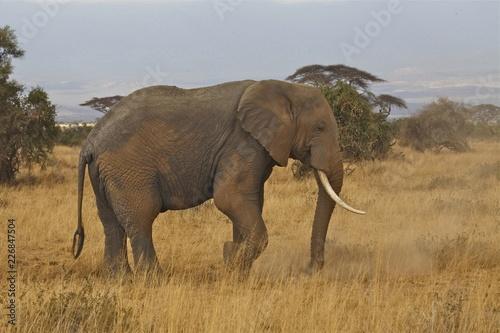 Photo  Bull Elephant