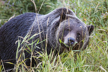 Portrait Of Grizzly Bear Standing On Grassy Field