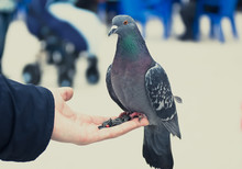 Close Up Of Feral Pigeon Perching On A Hand.