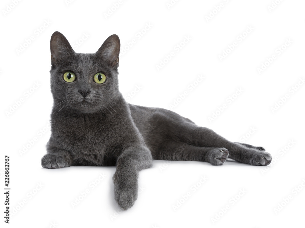 Fototapety, obrazy: Silver tipped blue adult Korat cat laying down side ways with one paw hanging over edge and looking straight at camera with green eyes, isolated on white background