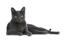 Silver Tipped Blue Adult Korat Cat Laying Down Side Ways And Looking Straight At Camera With Green Eyes, Isolated On White Background