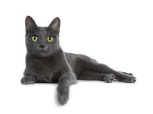 Silver Tipped Blue Adult Korat...