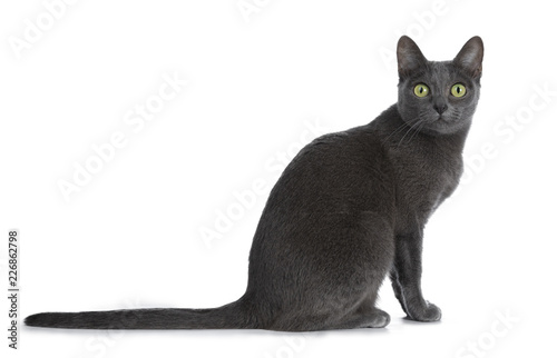 Cadres-photo bureau Chat Silver tipped blue adult Korat cat sitting side ways and looking straight at camera with green eyes, isolated on white background