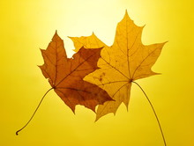 Autumn Gold Yellow Background Setting Sun Maple Leaf