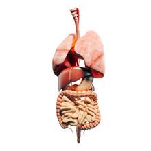 3d Man Render,  Anatomy Showin...