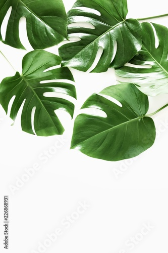 Fotomural  Tropical palm leaf Monstera isolated on white background