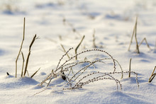 Close-up Of Dried Black Withered Frozen Stubble, Herbs Plants Stems Covered With Snow And Frost In Winter Cold Empty Field On Bright Blurred White Blue Sunny Outdoors Copy Space Background.