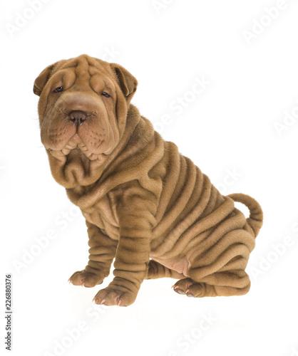 Leinwand Poster  Photographie portrait studio d'un chien Shar-Pei de couleur fauve sable sur fond