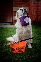 Close Up Of A Purebred White Golden Retriever Holding A Halloween Candy Bag With Its Nose With A Trick Or Treat Container And Witch Broom On The Grass
