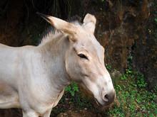Portrait Of One Somali Wild Ass - Equus Africanus Somaliensis