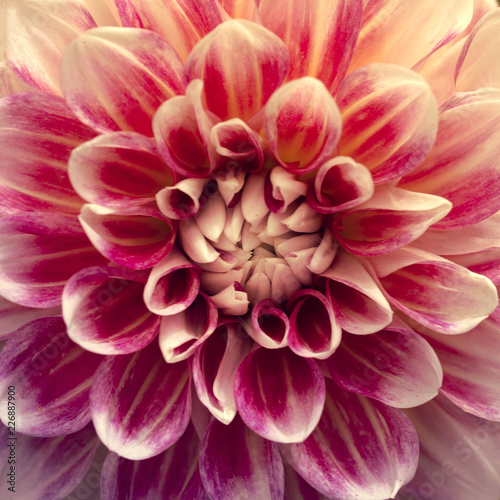 Detailed red and White dahlia flower. Close up image