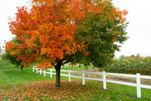 Horizontal Fall Foliage With Reds And Oranges Along With A White Picket Fence