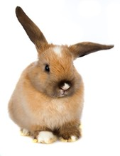 Lop Eared Rabbit With Ears Out