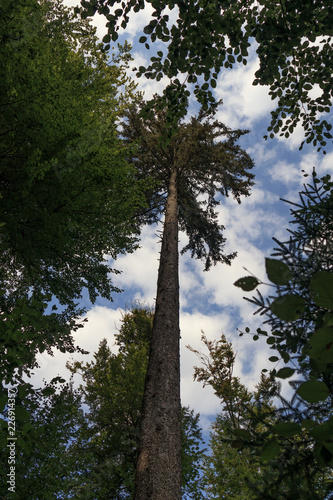 Fotografie, Obraz  Tall straight tree and blue sky with white clouds background