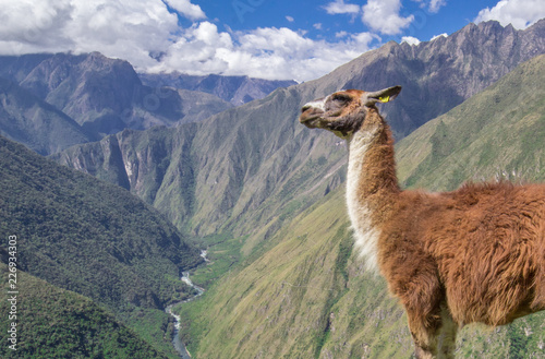 Photo  A llama stands in the foreground before a verdant valley on the Inca Trail in Pe