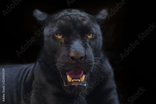 Deurstickers Panter black panther shot close up with black background