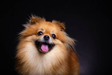 Lovely Pomeranian Dog Looks At...