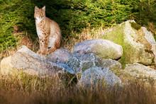 Wild Cat Eurasian Lynx Watchin...