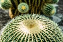 Cactus Plant Close-up