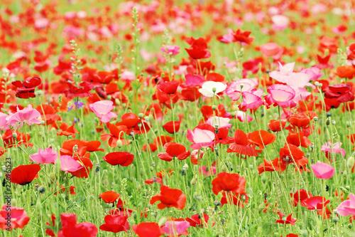 Meadow of Poppy flowers